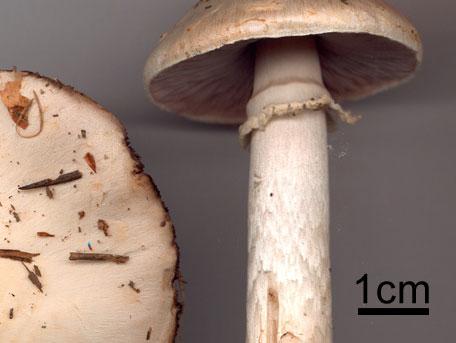 Sommarchampinjon – Agaricus altipes