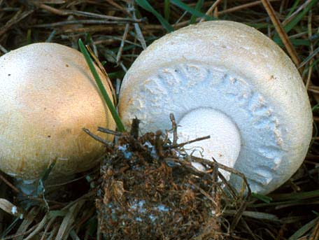 Snöbollschampinjon – Agaricus arvensis