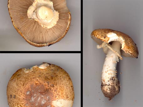 Kungschampinjon – Agaricus augustus