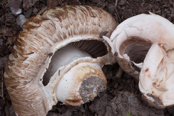 Trädgårdschampinjon – Agaricus bisporus