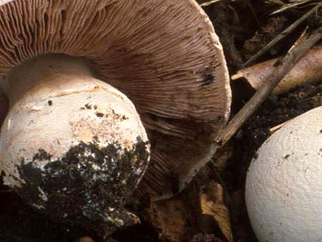 Spetsfotad champinjon – Agaricus litoralis