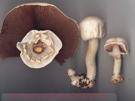Giftchampinjon – Agaricus xanthoderma
