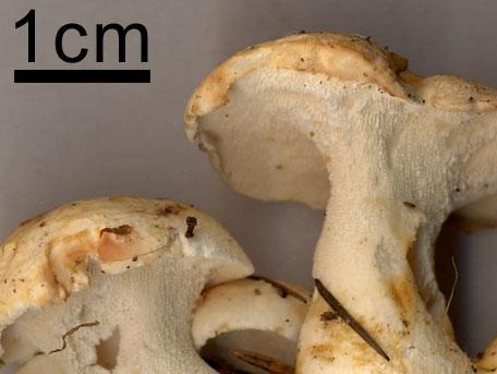 Brödticka – Albatrellus confluens