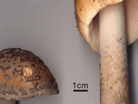 Jättekamskivling – Amanita ceciliae