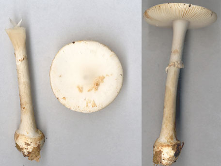 – Amanita citrina f. alba