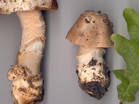 Bleknande kamskivling – Amanita lividopallescens