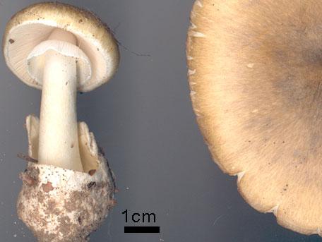 Lömsk flugsvamp – Amanita phalloides