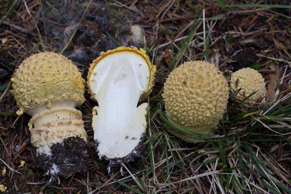 Brun flugsvamp – Amanita muscaria var. regalis