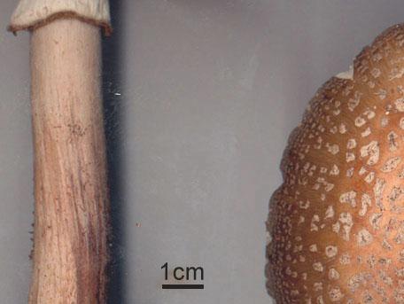 Rodnande flugsvamp – Amanita rubescens