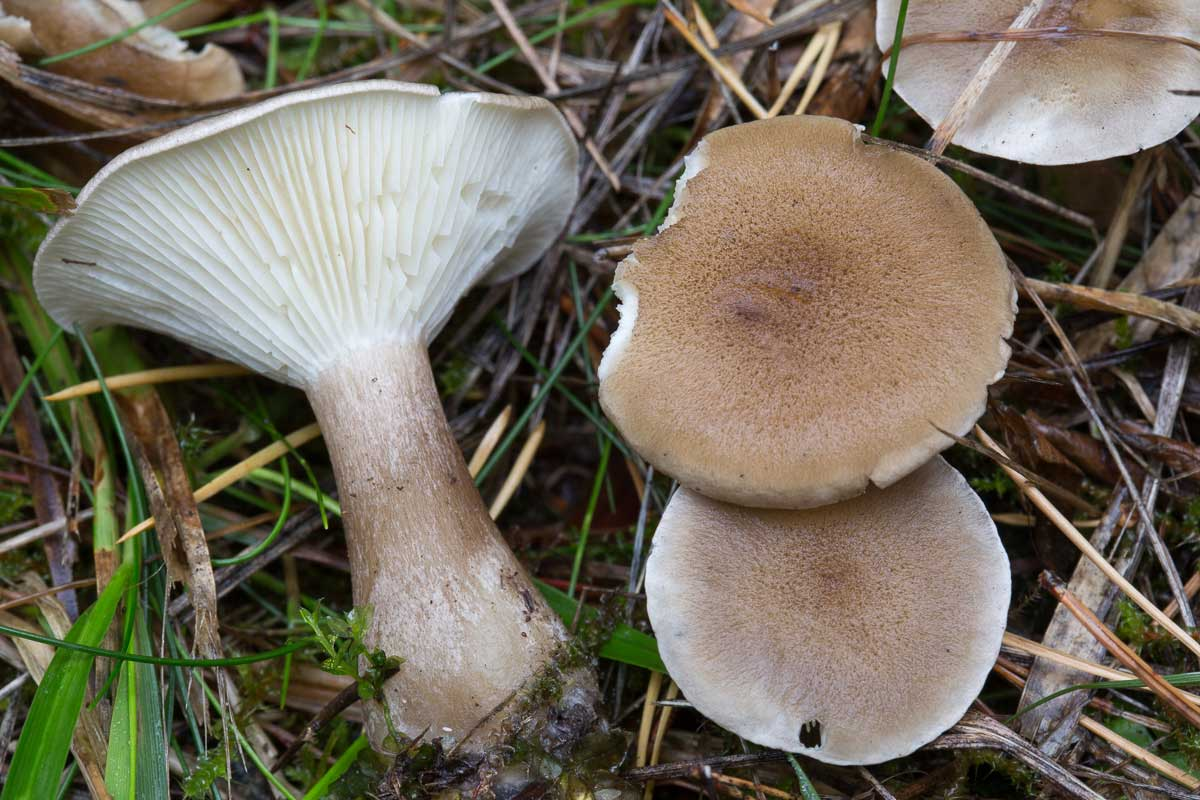 Klubbtrattskivling – Ampulloclitocybe clavipes