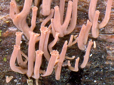Liten kandelabersvamp – Artomyces cristatus