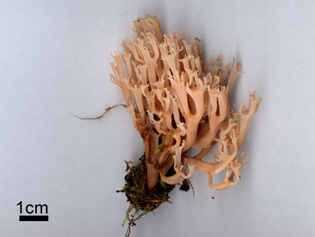 Kandelabersvamp – Artomyces pyxidatus