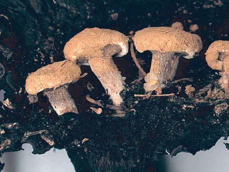Stoftkremling – Asterophora lycoperdoides