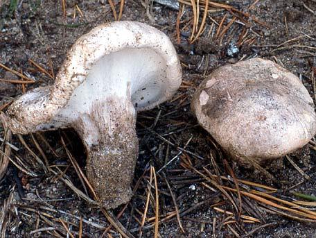Tallgråticka – Boletopsis grisea