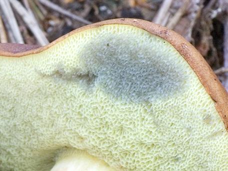 Brunsopp – Imleria badia