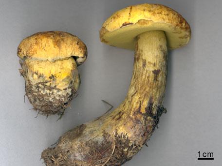 Gul blodsopp – Boletus luridiformis var. discolor