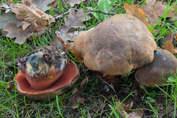 Blodsopp – Neoboletus luridiformis