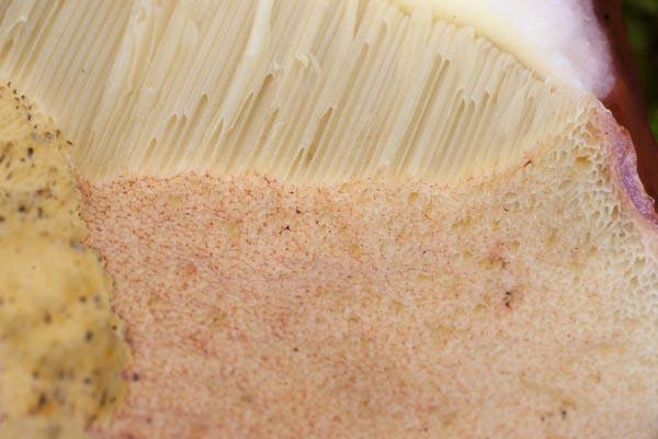 Rödbrun stensopp – Boletus pinophilus