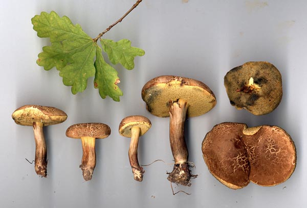 Falsk rutsopp – Xerocomellus porosporus