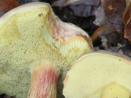Boksopp – Xerocomus pruinatus