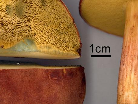Sammetssopp – Xerocomus subtomentosus s.lat.
