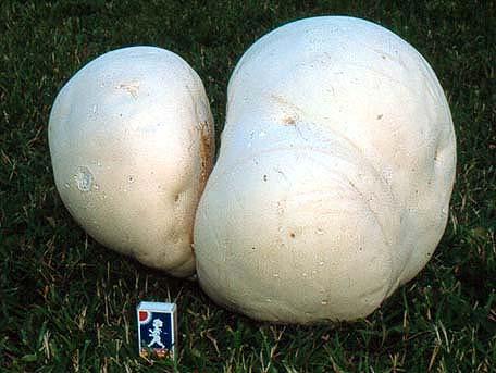 Jätteröksvamp – Langermannia gigantea