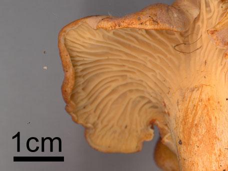 Ametistkantarell – Cantharellus amethysteus