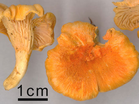 Orange kantarell – Cantharellus friesii