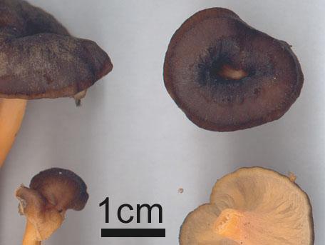 Rödgul trumpetsvamp – Craterellus lutescens