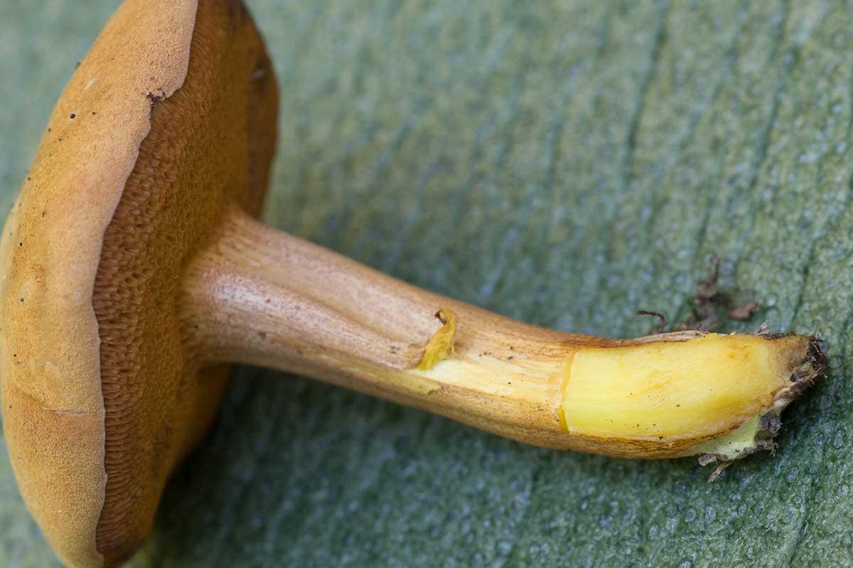 Pepparsopp – Chalciporus piperatus