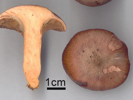 Rabarbersvamp – Chroogomphus rutilus