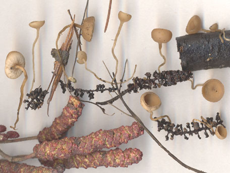 Hängeskål – Ciboria caucus
