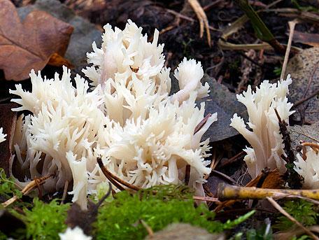 Kamfingersvamp – Clavulina cristata