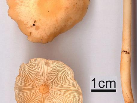 Blek nagelskivling – Gymnopus dryophilus