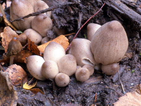 Puckelbläcksvamp – Coprinopsis acuminata