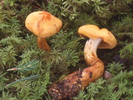 Lokspindling – Cortinarius callisteus