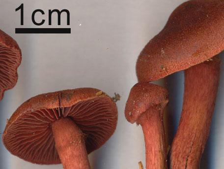 Blodspindling – Cortinarius sanguineus s. lat.