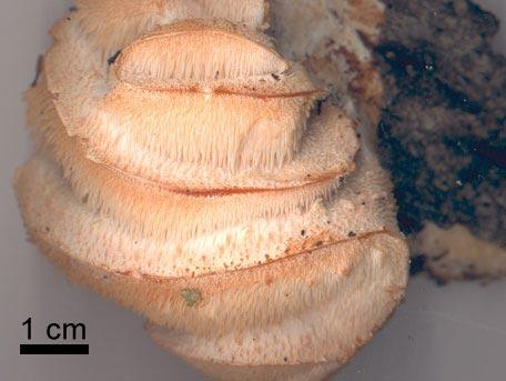 Gyttrad taggsvamp – Hericium cirrhatum