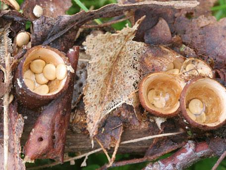 Gul brödkorgssvamp – Crucibulum laeve