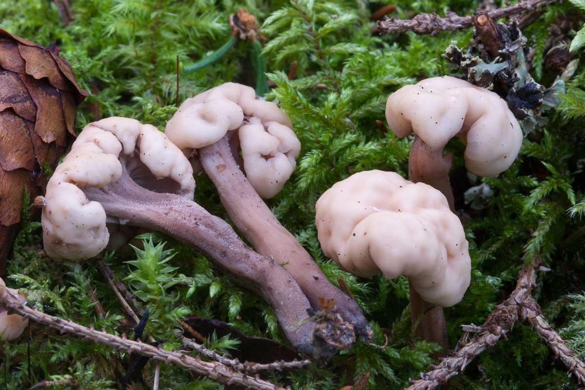 Mössmurkling – Cudonia circinans