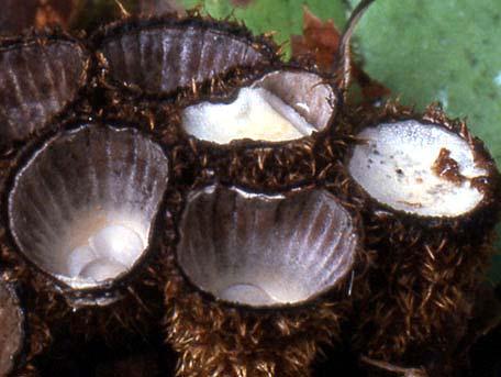 Strimmig brödkorgssvamp – Cyathus striatus