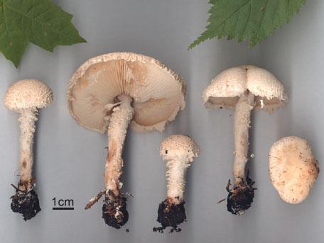 Flockig puderskivling – Cystolepiota adulterina
