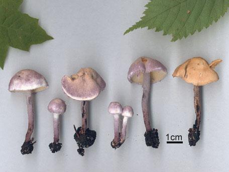 Violettfotad puderskivling – Cystolepiota bucknallii