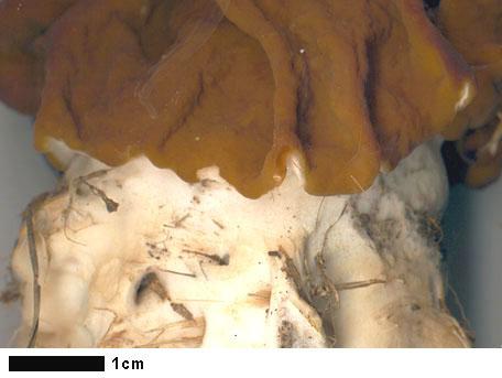 Blek stenmurkla – Gyromitra gigas