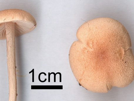 Lundnopping – Entoloma queletii