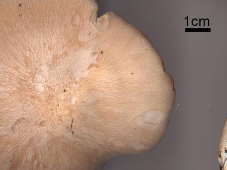 Bolmörtsskivling – Entoloma sinuatum