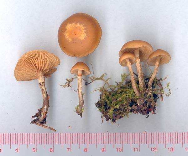 Gifthätting – Galerina marginata
