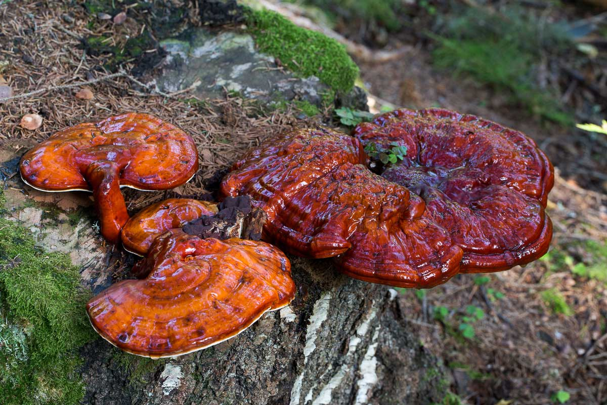 Lackticka – Ganoderma lucidum