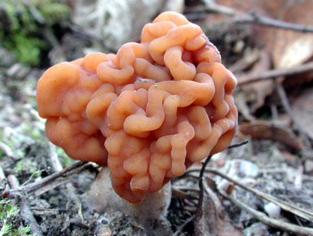 Stenmurkla – Gyromitra esculenta