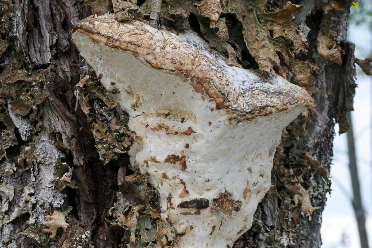 Doftticka – Haploporus odorus